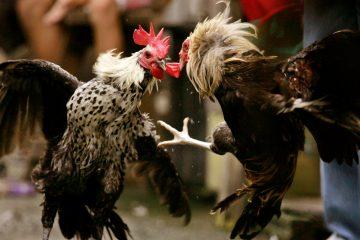 Agen Resmi Sabung Ayam Terpercaya